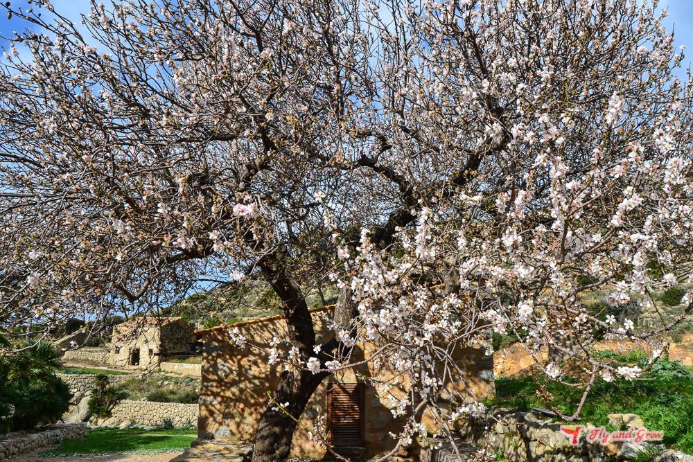 Almendros en flor, Mallorca