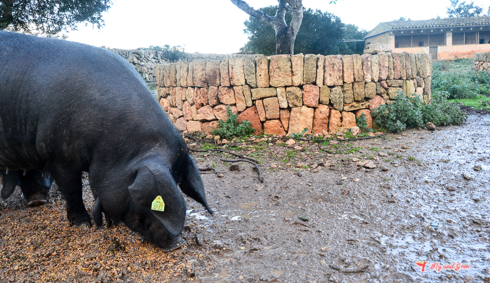 Porc nere mallorquin