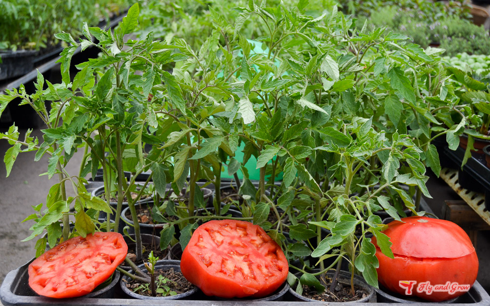 tomate de mallorca