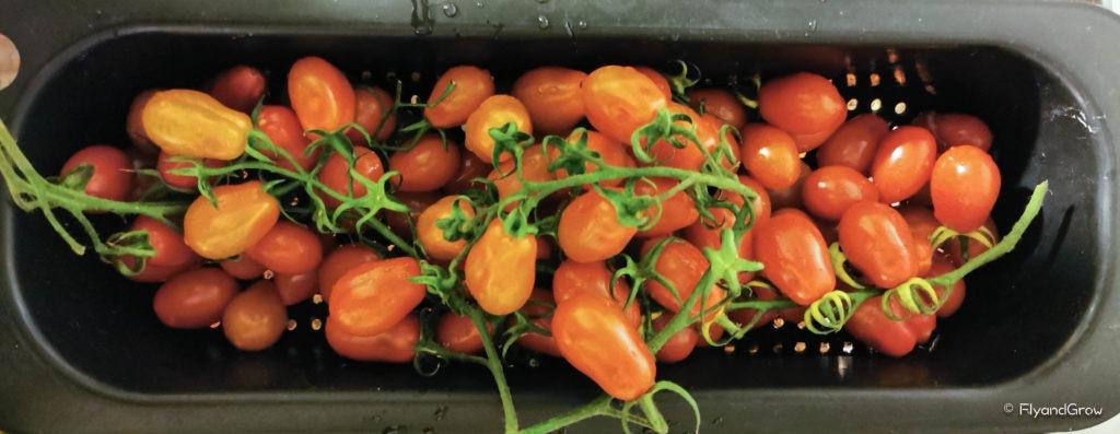 Tomates de Pachino